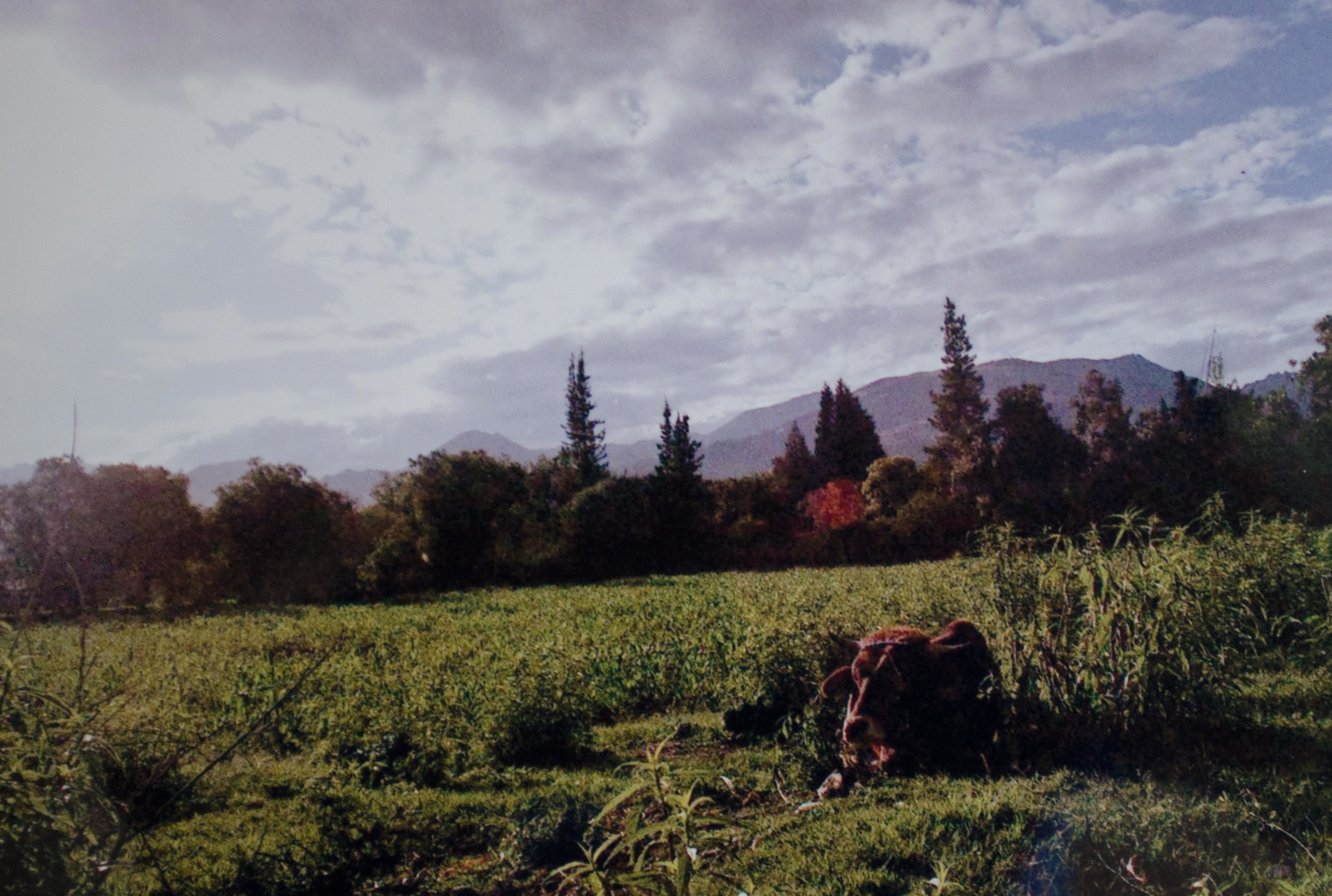 a cow taking a nap in Vinto // january 2015