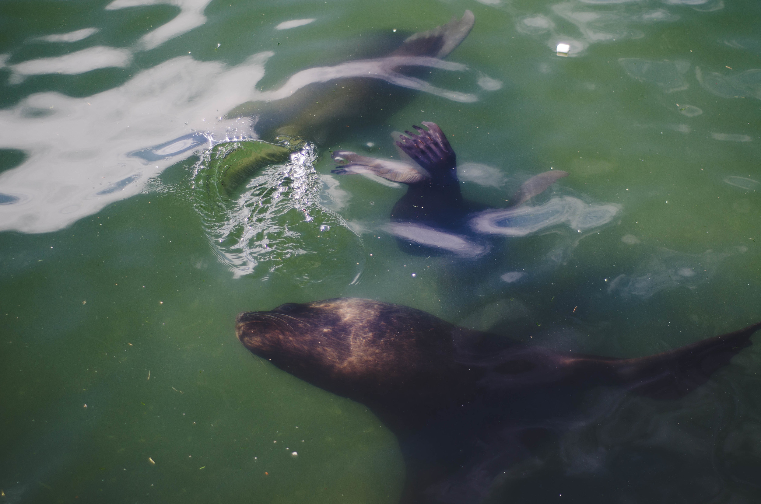 several sea lions swimming by the shore