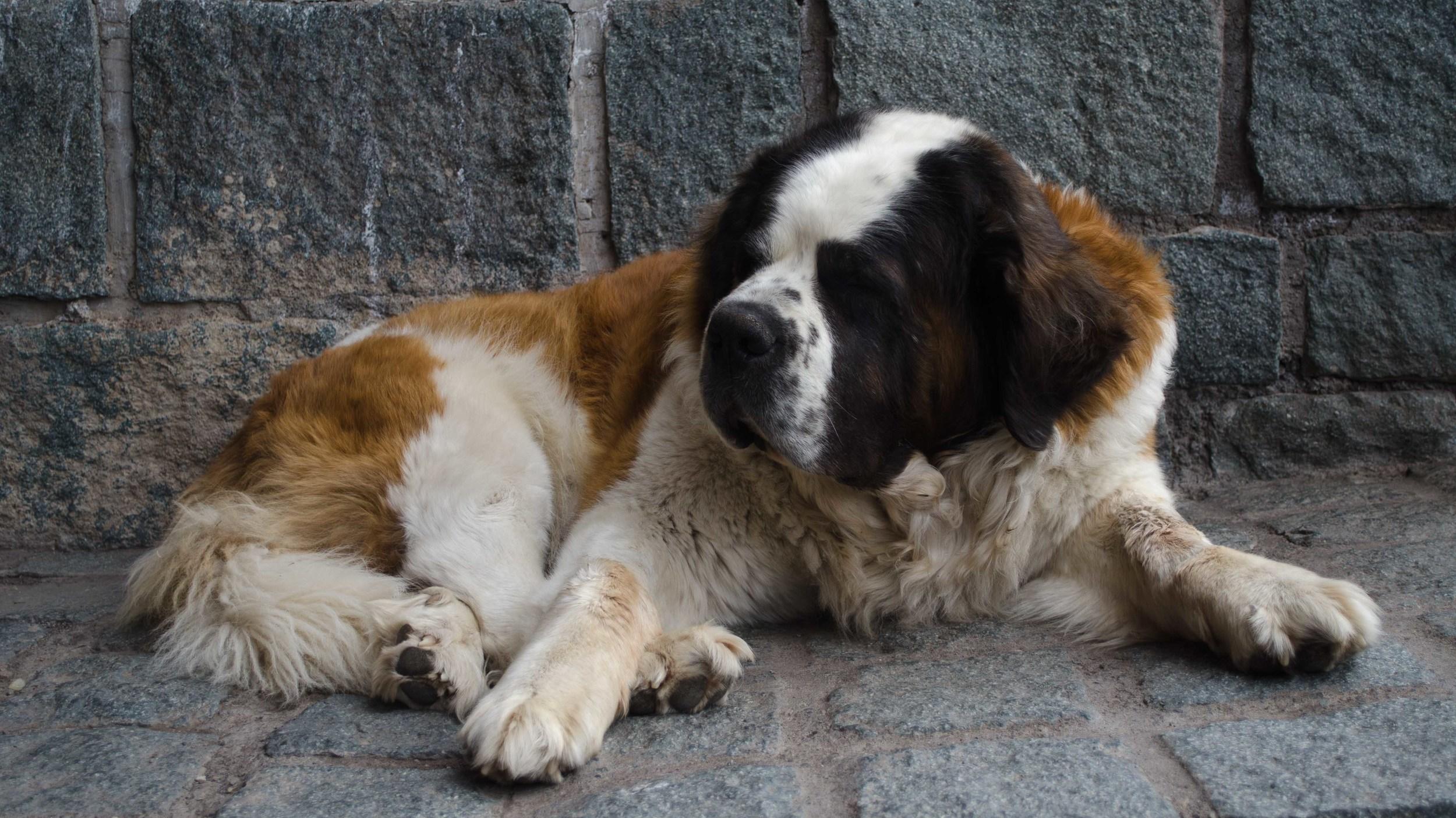 The beautiful big dog of Ski Portillo // El grande y lindo perro de Ski Portillo