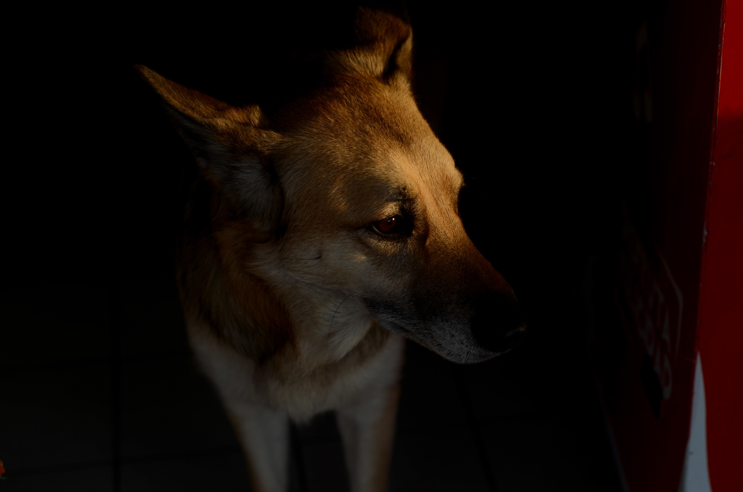 A pensive street dog in the evening light