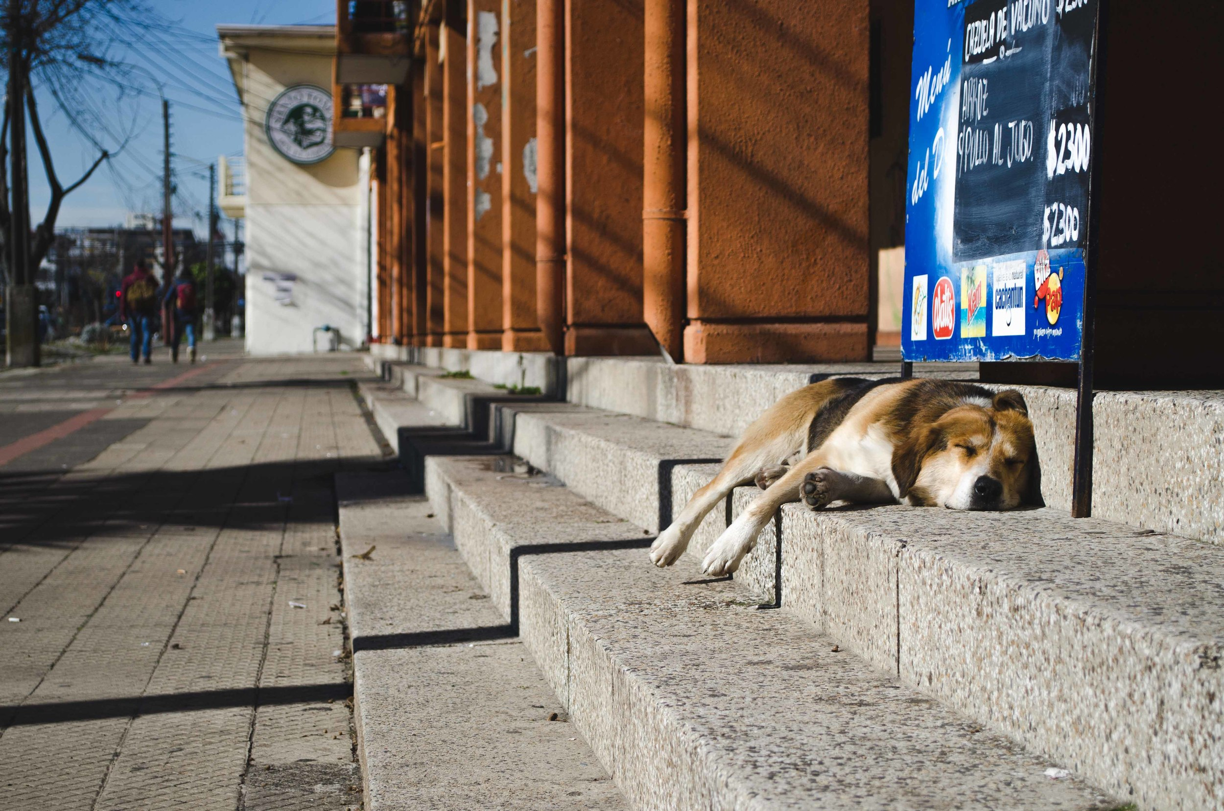 A street dog naps in Talca, Chile