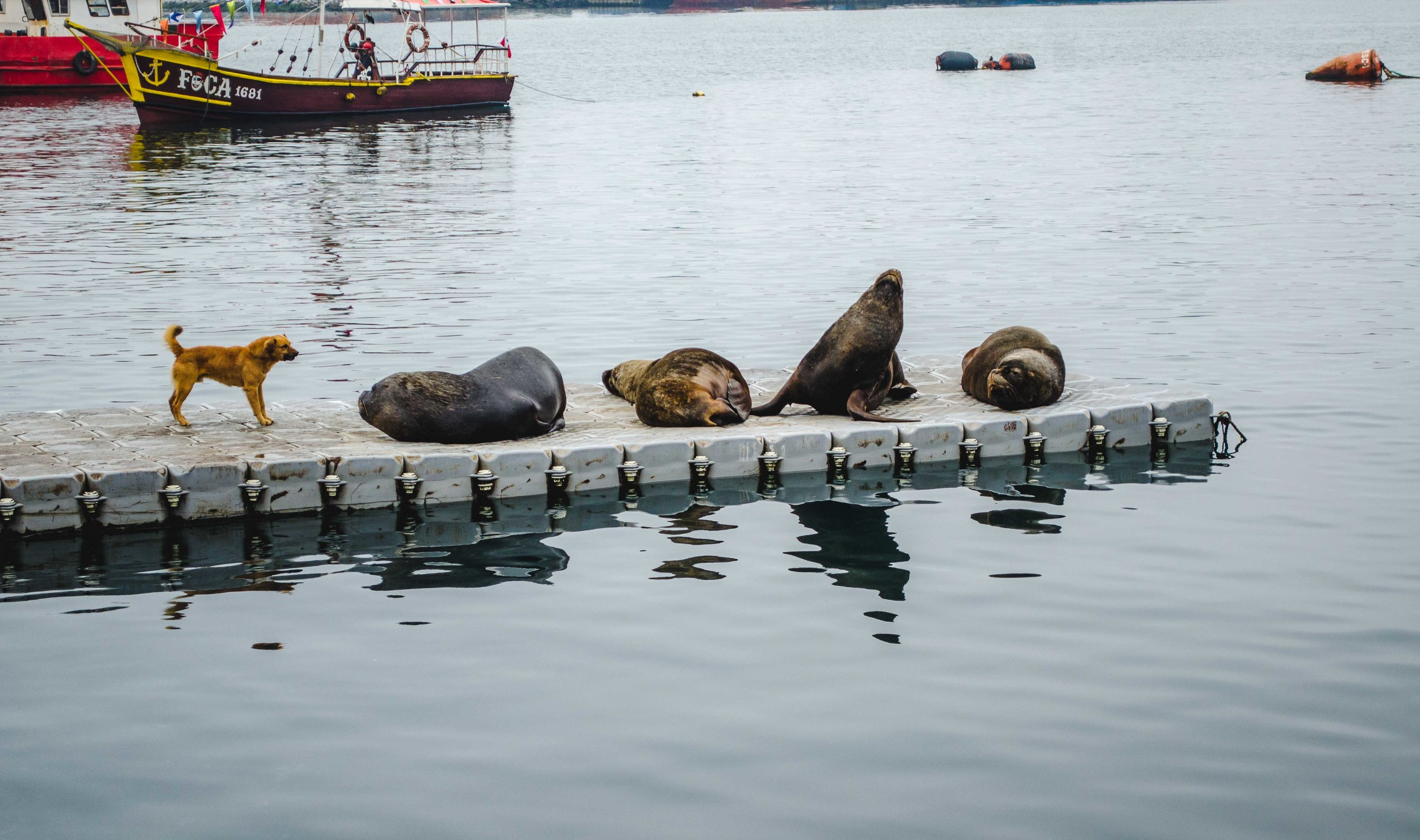 A street dog barks at sea lions in Talcahuano, Chile