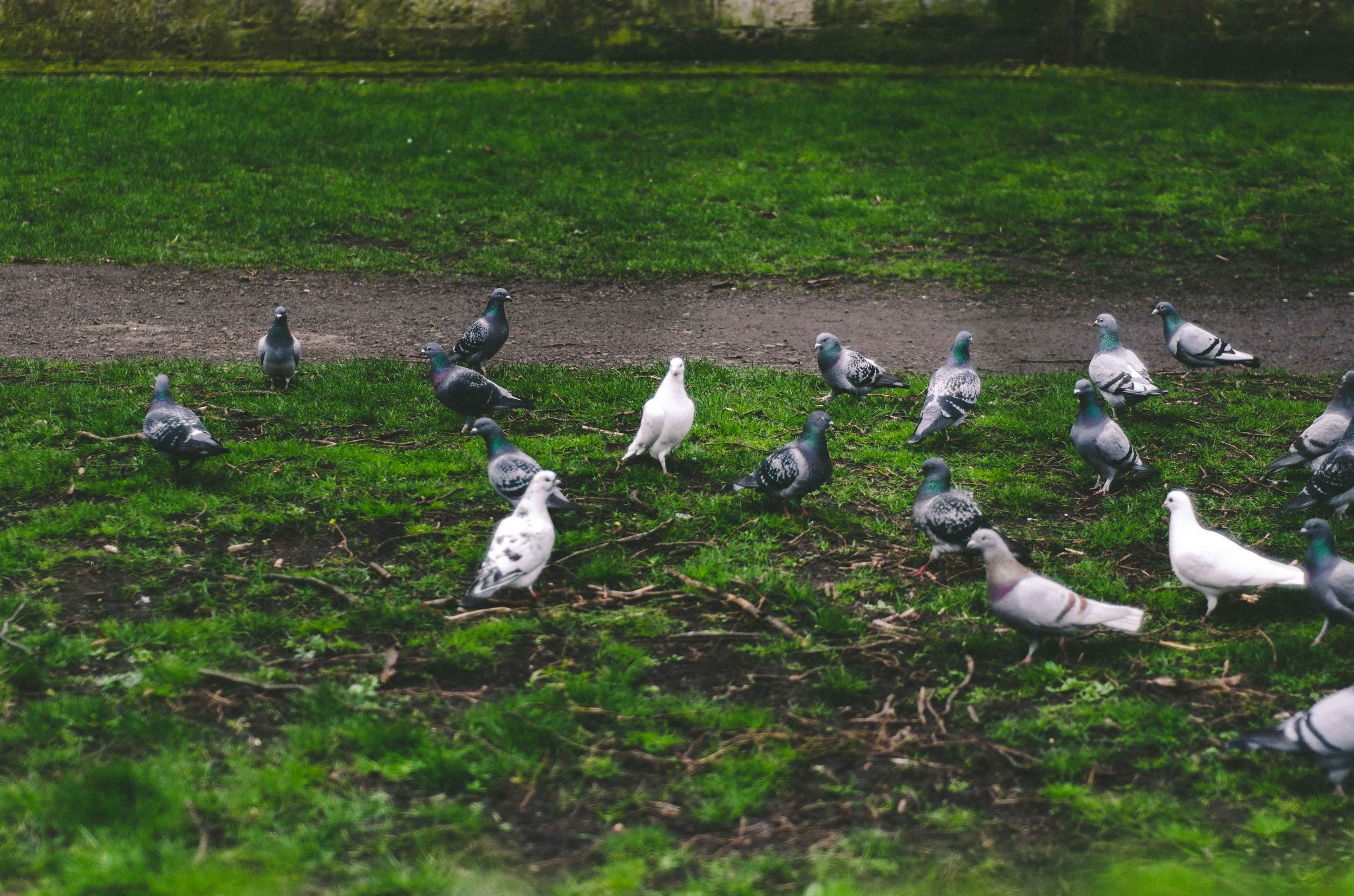 Pigeon collective on the church lawn