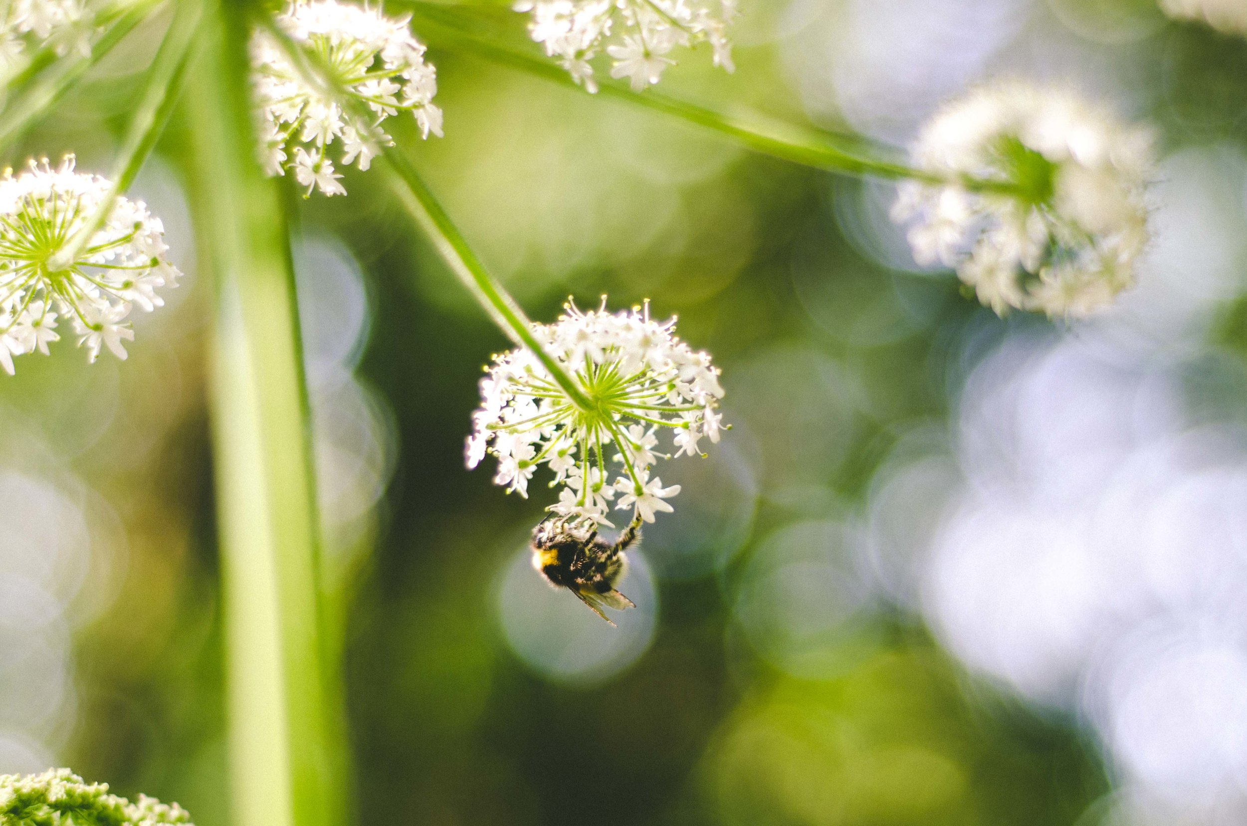 A bee along the trail leading to Palácio da Pena