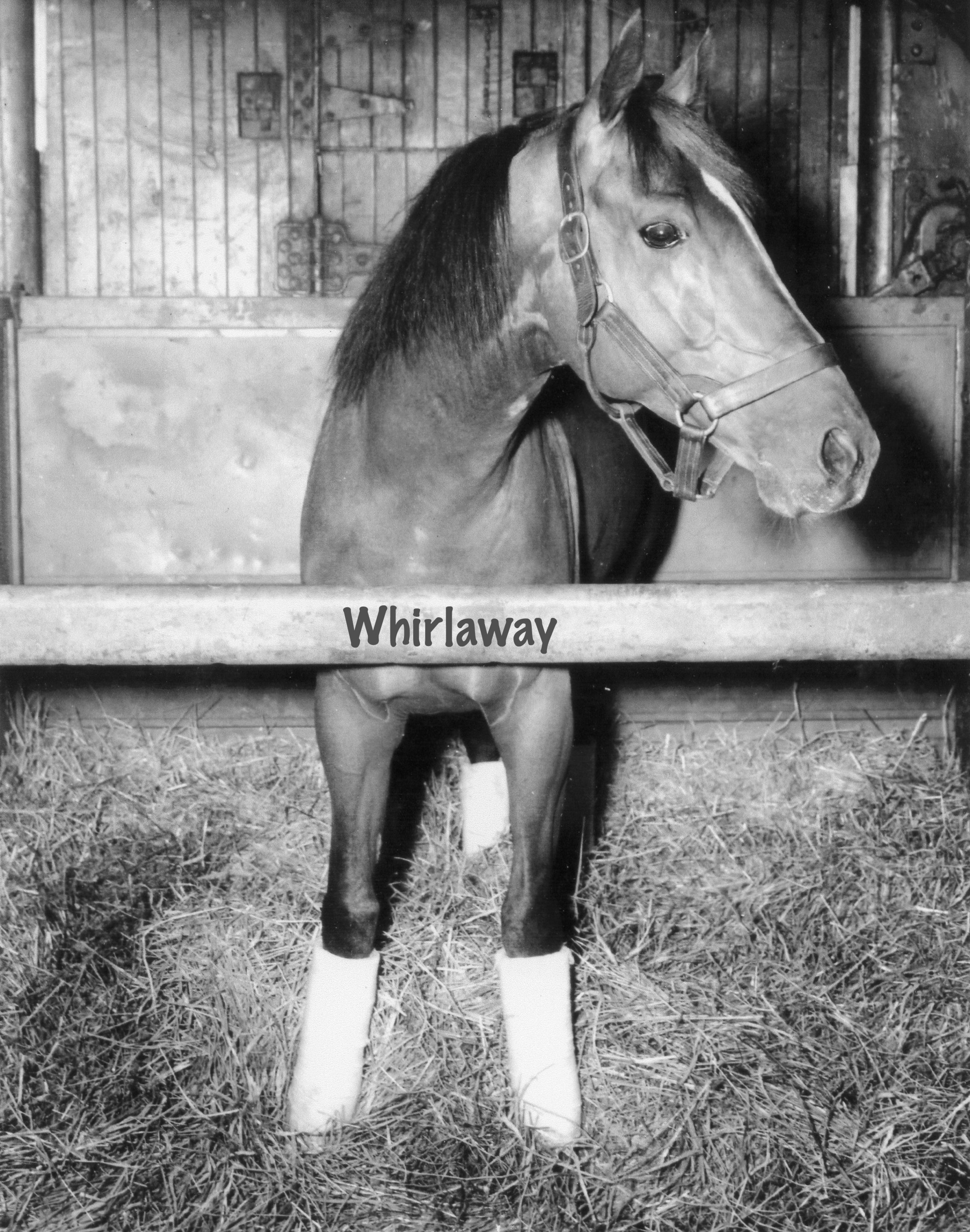 Whirlaway — the only Triple Crown winner to win the Travers Stakes — had a tendency to veer toward the middle of the track in races.