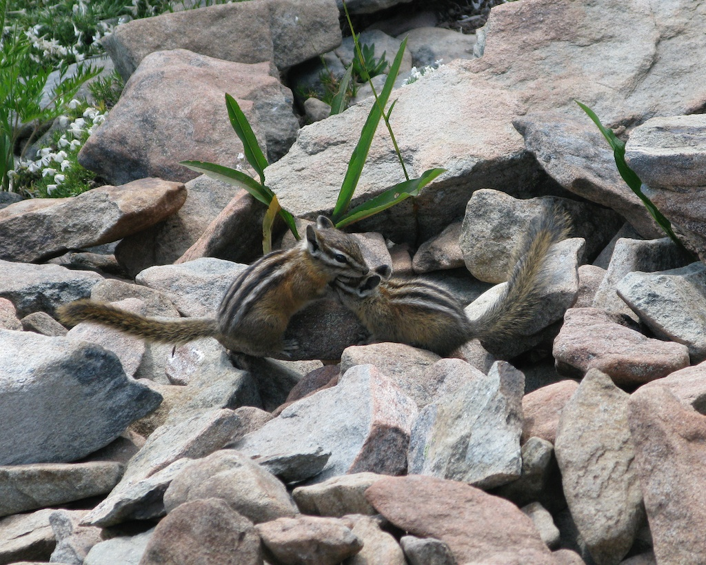 Chipmunks in Olympic National Park
