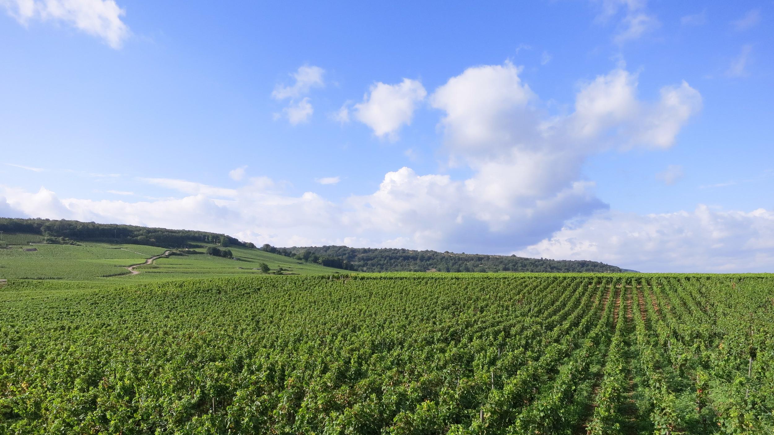 BurgundyVinyards-1.jpg