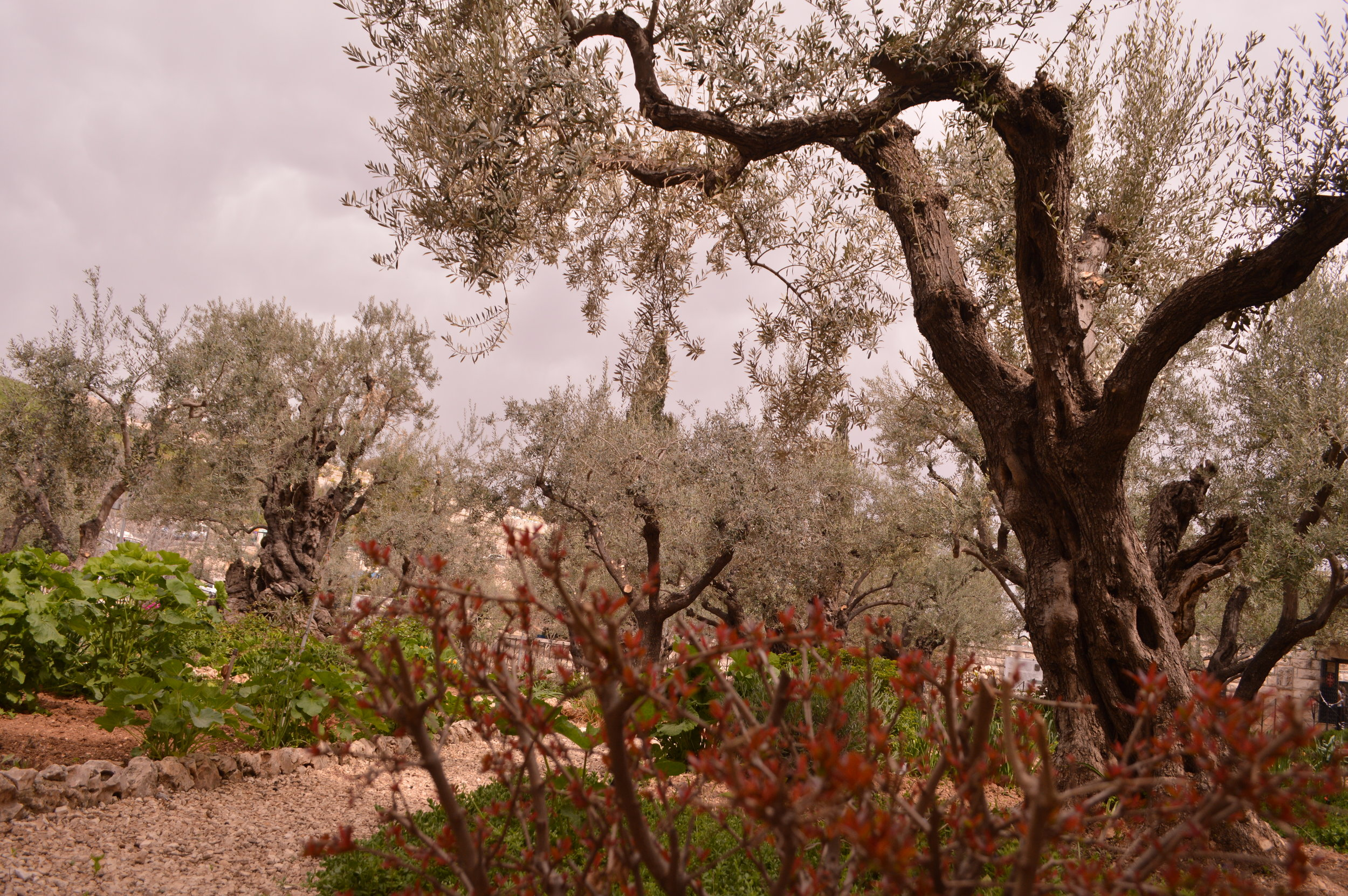 Olive Trees at the Garden of Gethsemene