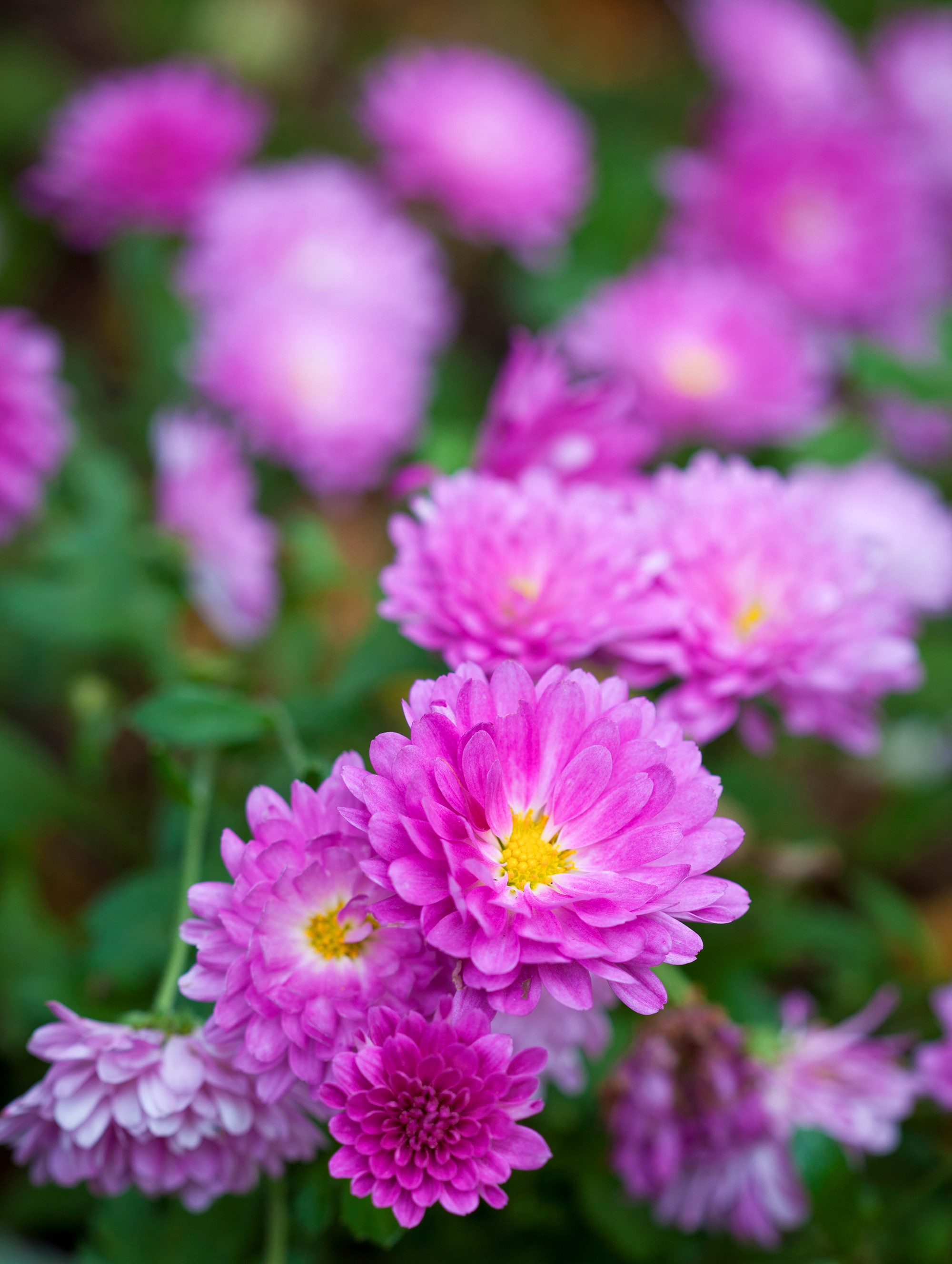 Delight - pink - Plants_Withycombe_8.jpg