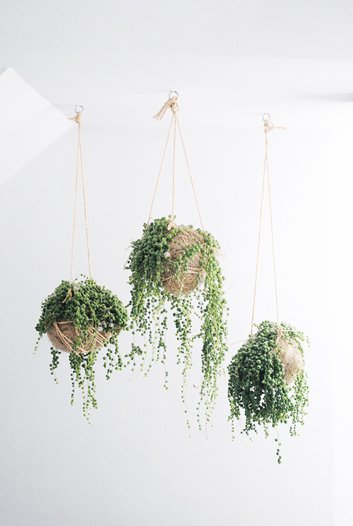 String of pearls are also known as rosary string of beads and are actually considered a succulent. That means that they are ideal for busy gal's as succulents require such little care. We recommend hanging them to showcase the draping beads.
