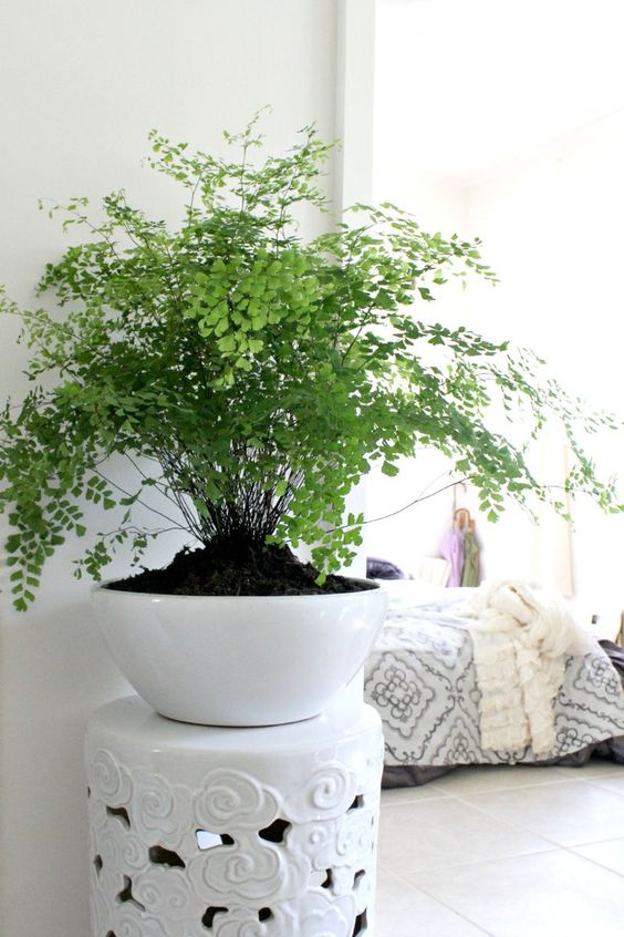 Maidenhair ferns come in so many varieties and sizes that there is sure to be one to suit your space. They look beautiful in a range of pots or can be hung to let the foliage drape and add a bit of extra dimension.