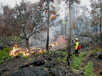 "Above:  ""A firefighter in Hawaii Volcanoes National Park watches as lava burns a new path through a lama tree forest this week. Newly built firebreaks and the relative resistance of this kind of forest to flames have prevented a conflagration."" Photo from Hawaii Volcanoes National Park"