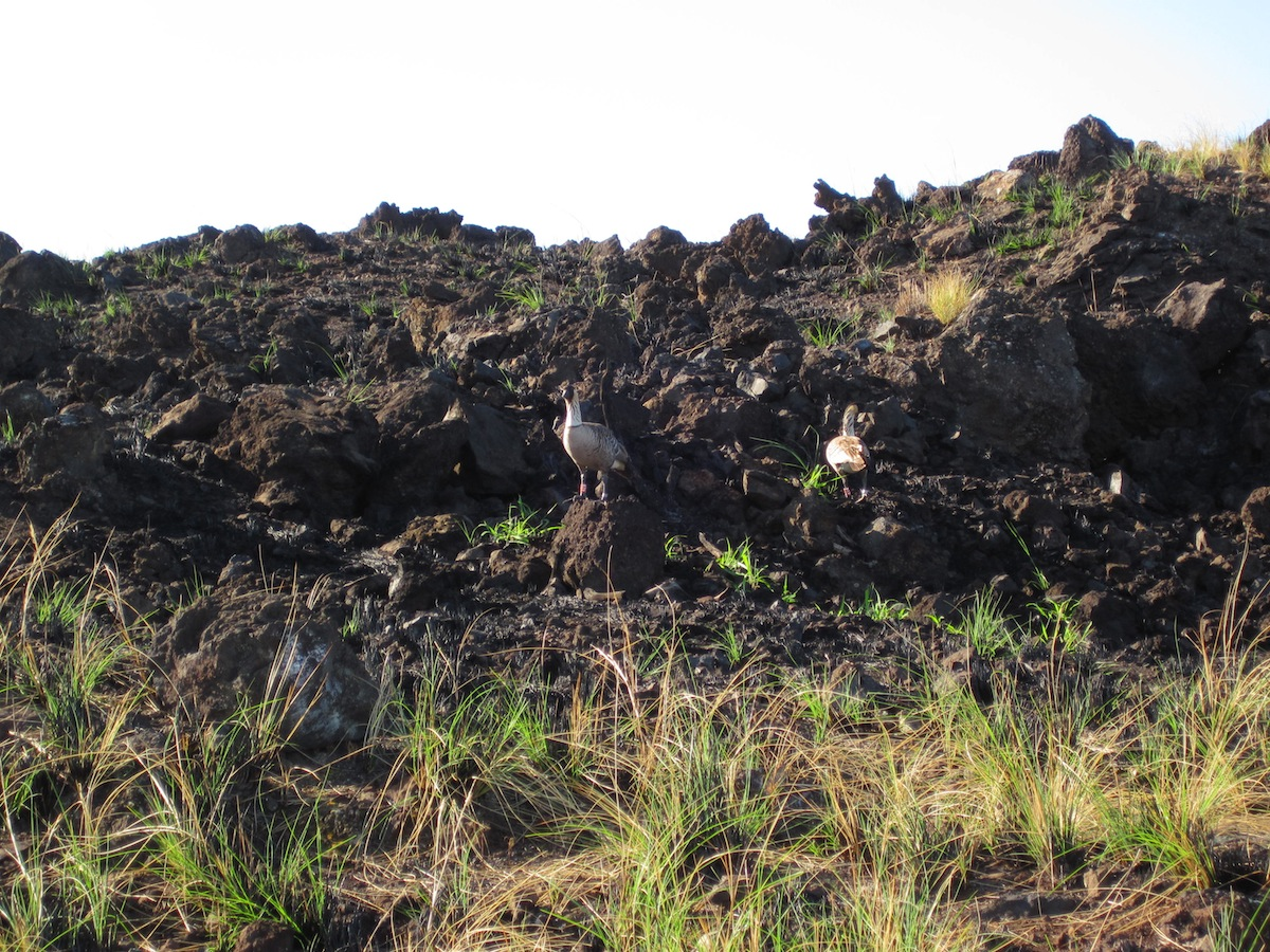 Nene geese lose a home after Puu Anahulu fire (smaller).JPG
