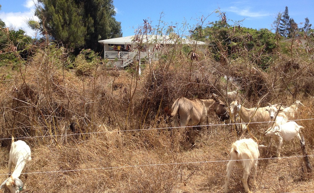Waikoloa Village - goats remove fuels with protection from donkey in vacant lot (smaller).JPG