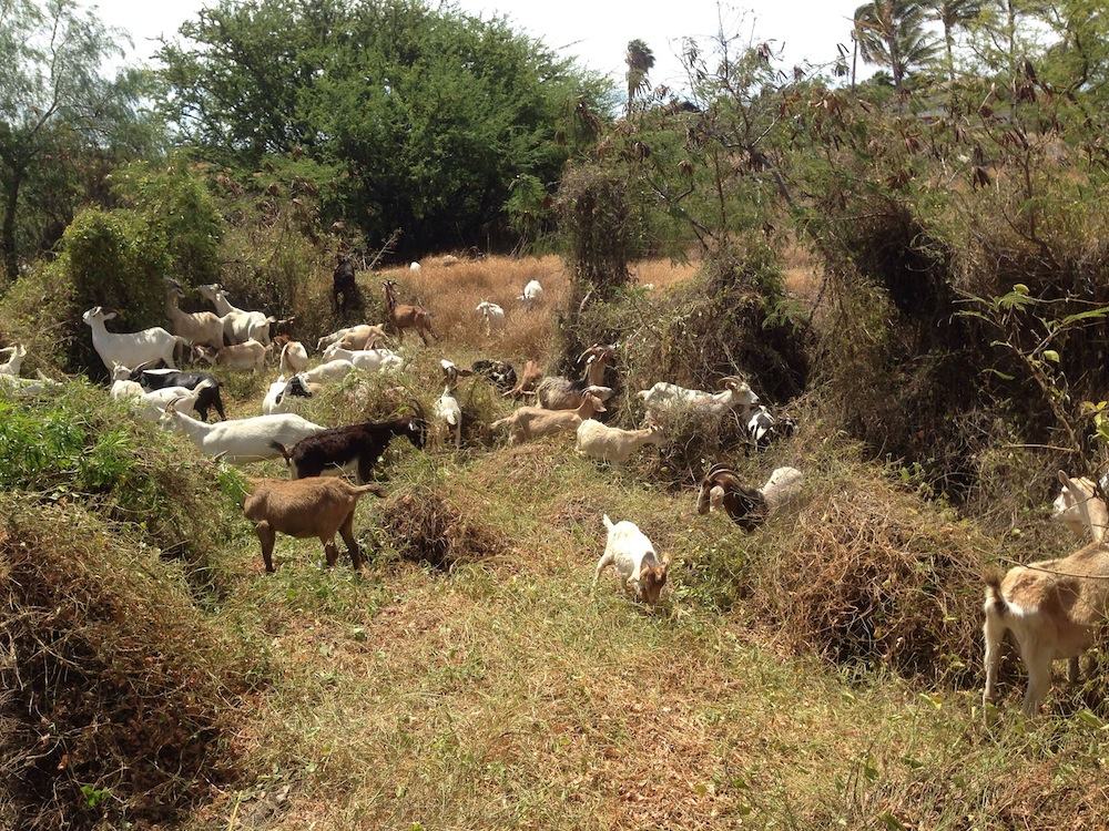 Goats make for great low-impact fuel-reducers when used in a controlled, strategic way. This pilot project was a huge success and gained much public support.