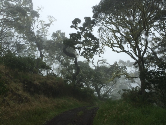 Koa  forests on Mauna Kea make for a mist-erious drive.