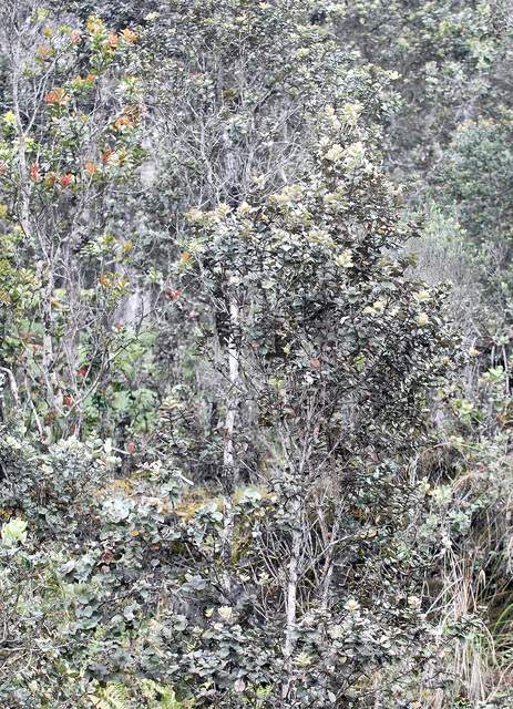 """An ohia stand grows in Kaloko Mauka. A fast-spreading wilt disease has been discovered in trees on the west side of the island. Laura Shimabuku/West Hawaii Today"""