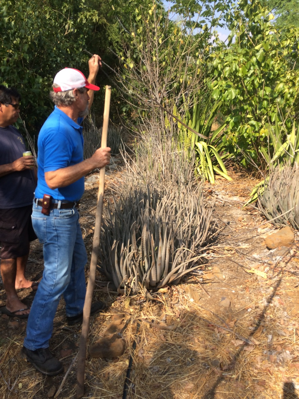 HWMO's Mike Tomich removes aloe stalk in living fuelbreak as example of fuels reduction measures that can be taken.