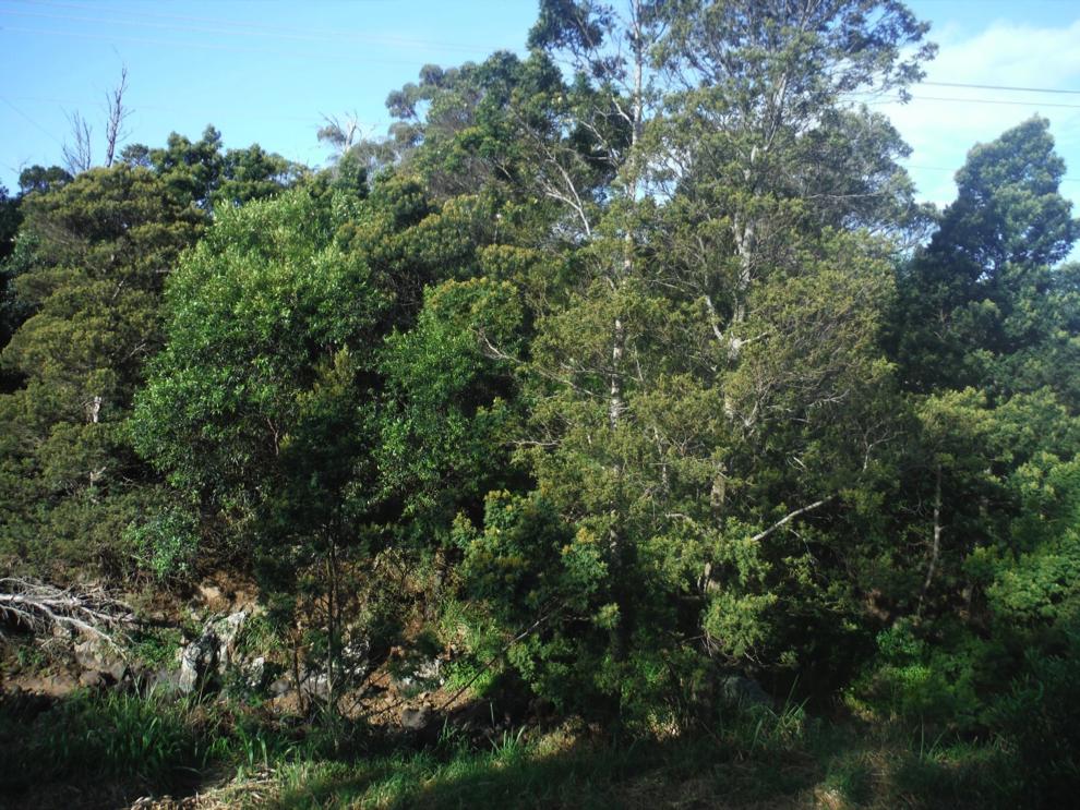 Ke Ala Kahawai O Waimea Streamside Trail of Waimea, before fuels reduction.