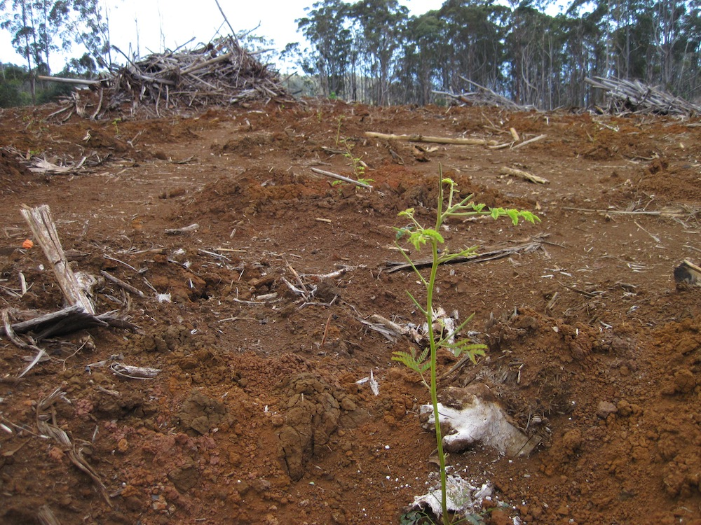 New koa plantings will replace a formerly non-native forest, taking advantage of a large, destructive wildfire that wiped out acres of eucalyptus.