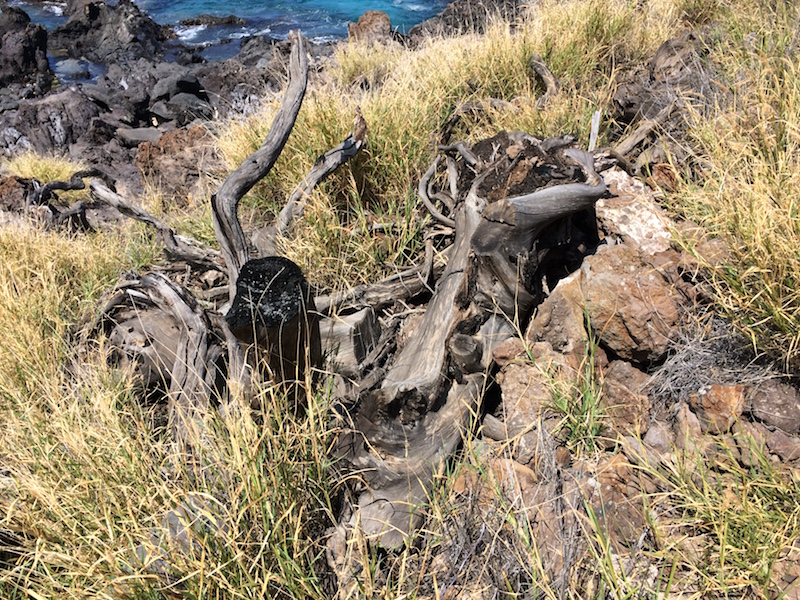 There are lots of signs of previous burns throughout the subdivision including this charred stump of a kiawe tree.