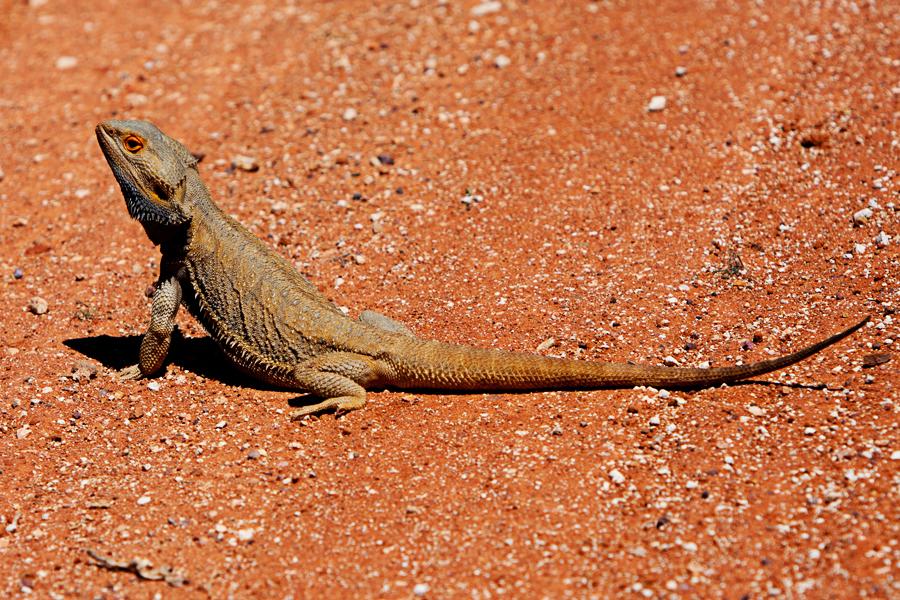 lizard2