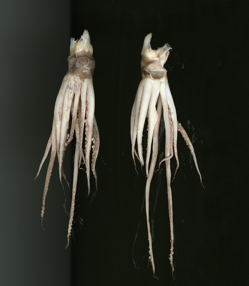 On My Table (a couple of squid)