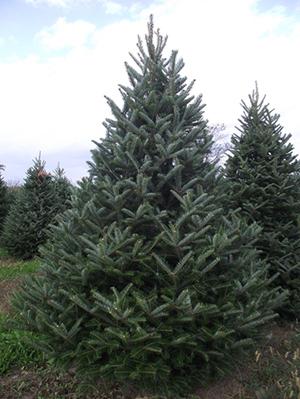 Fraser tree.jpg