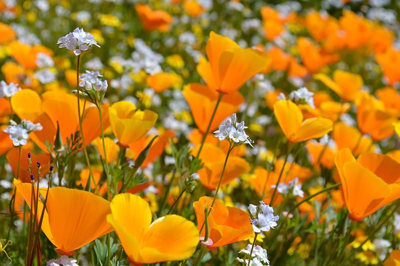 Diamond Valley Lake Wildflowers