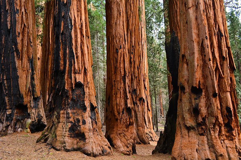 The Senate Sequoia
