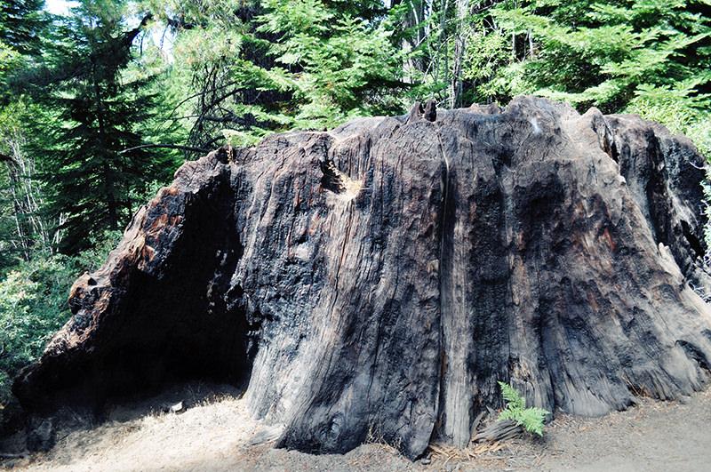 Chicago Stump Sequoia