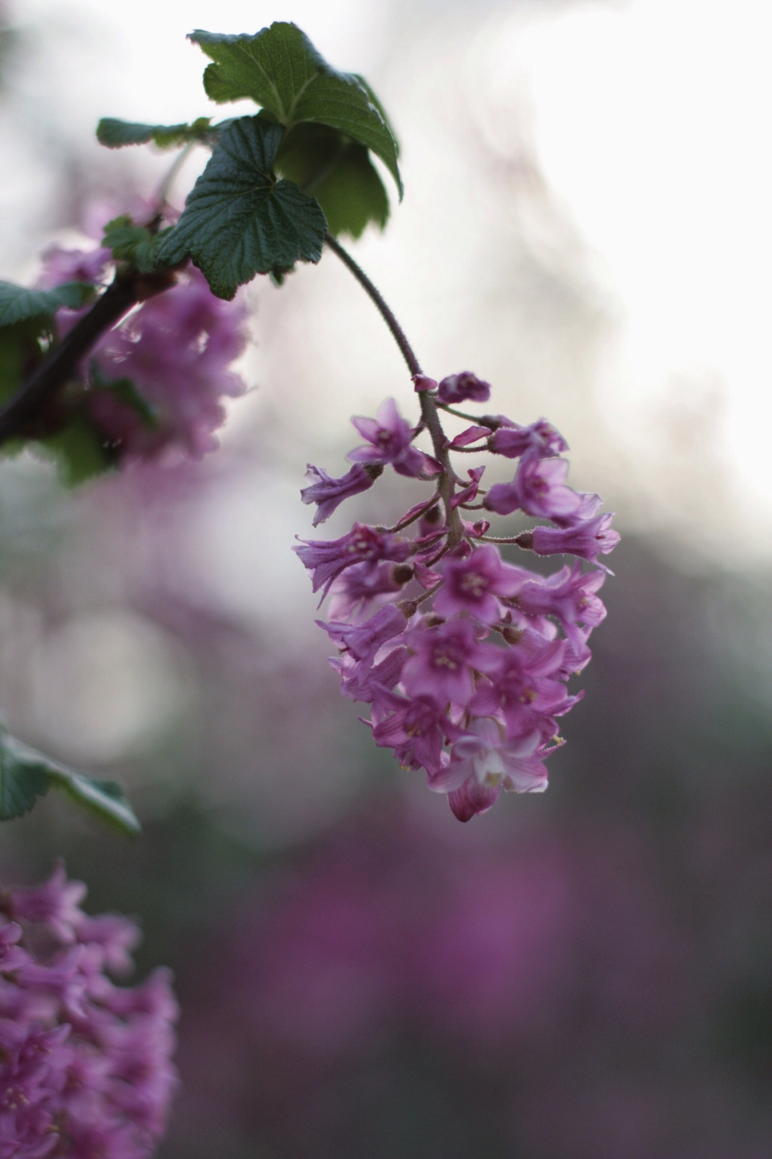 flowering currant -  ribes sangiuneum  at a local cafe
