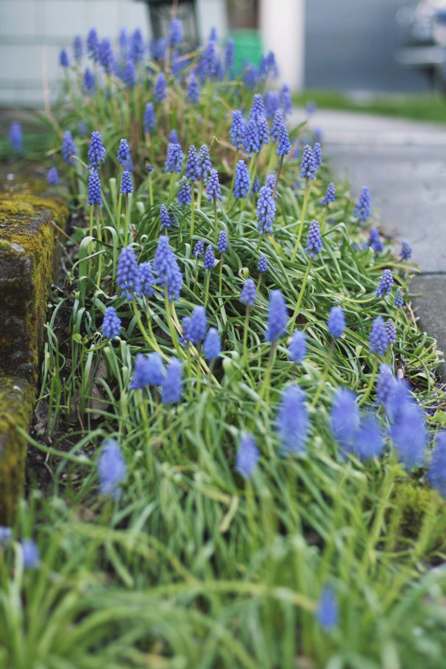 Muscari in our neighbor's walkway