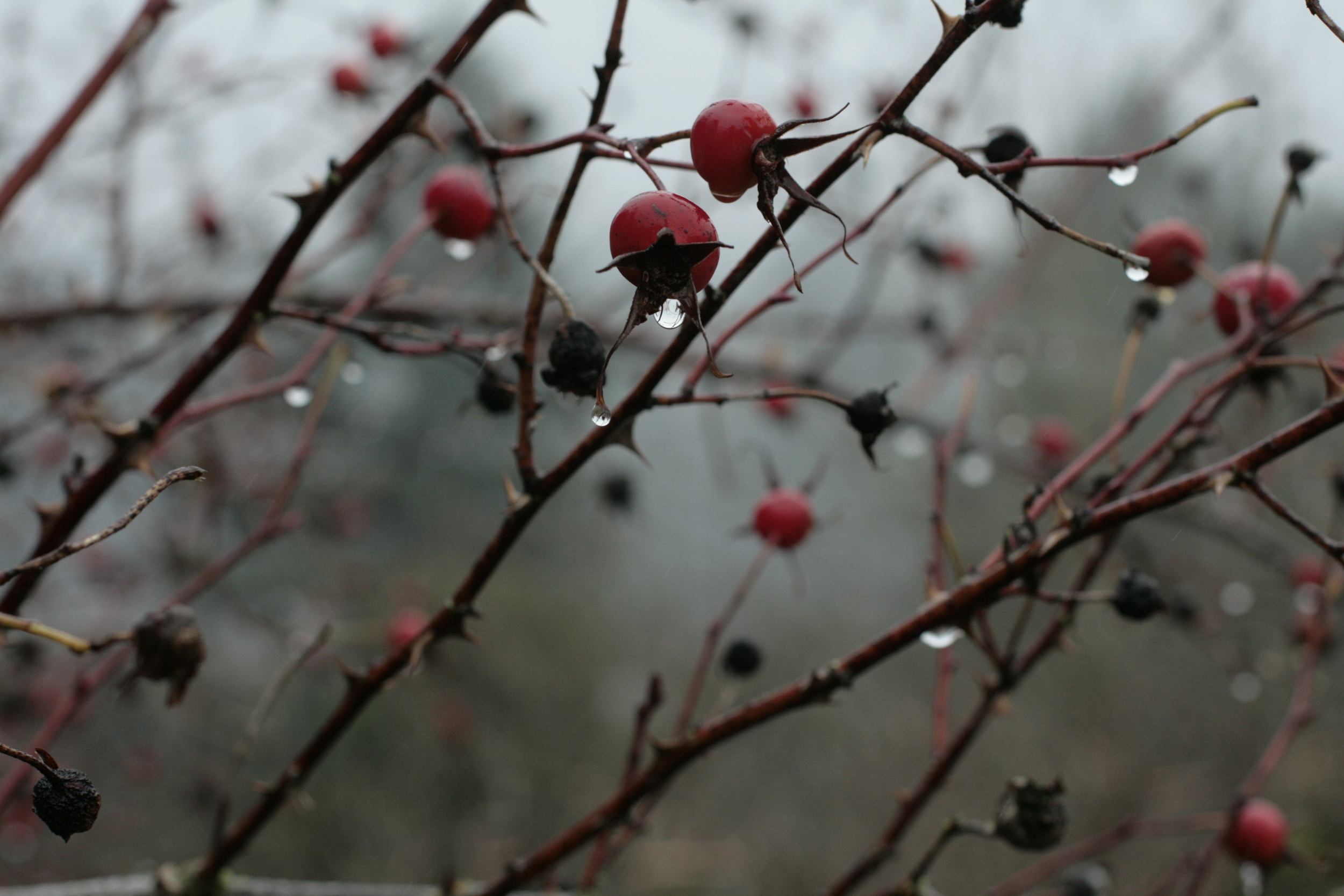 Rose Hips in the Winter Rain