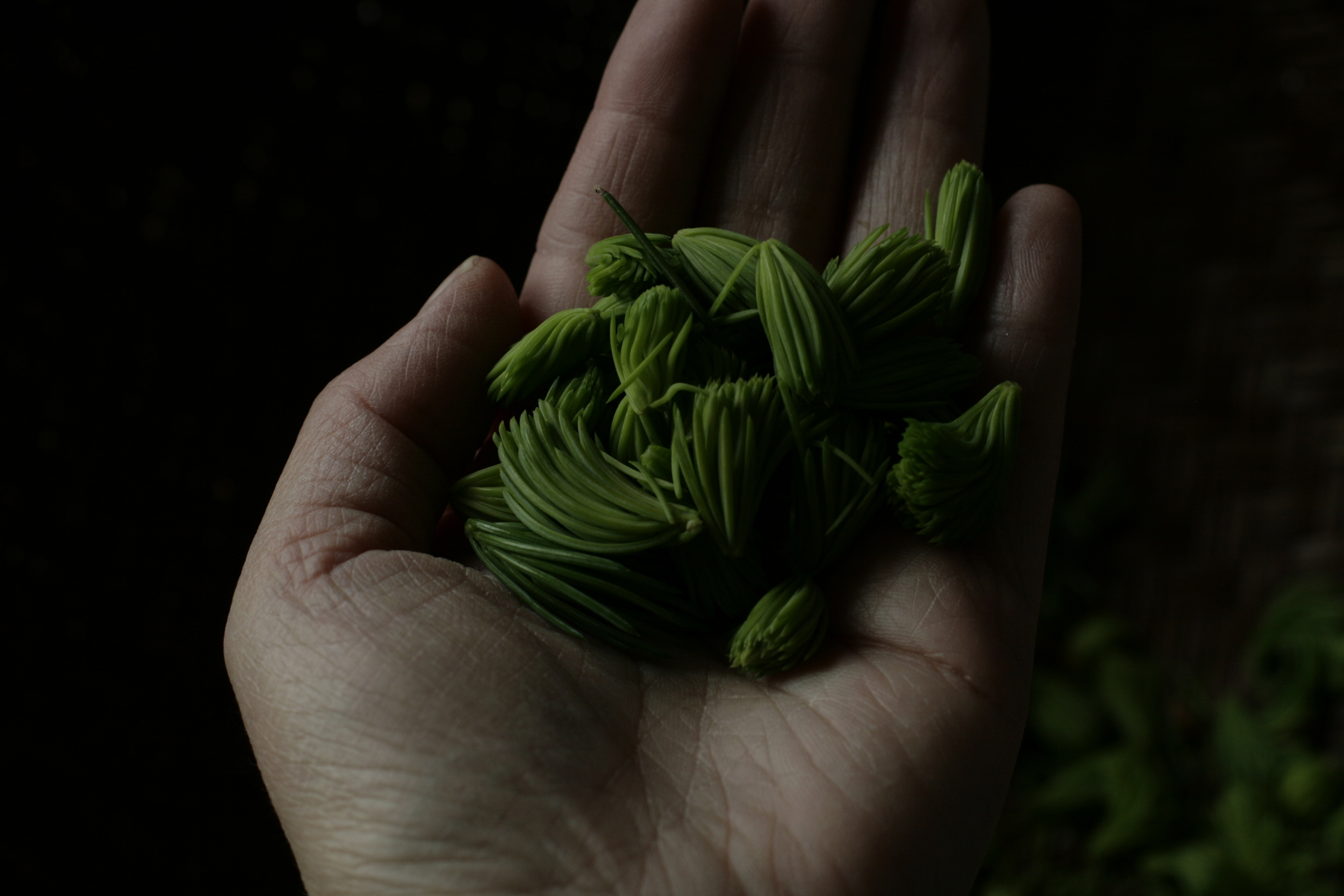 spruce tips // full of life