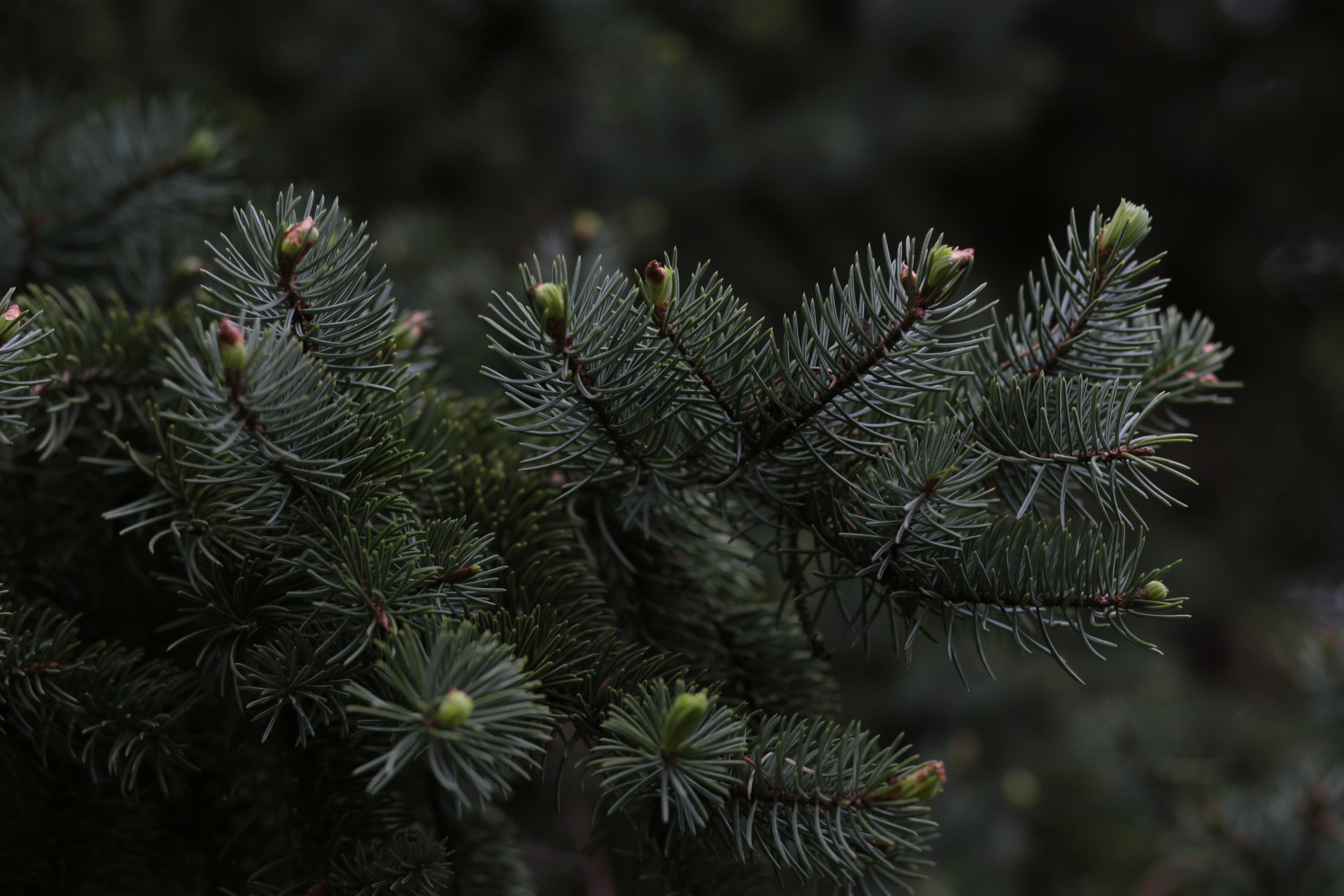 spruce tips on a branch