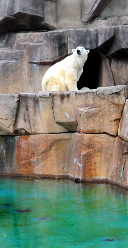 Zoo polar bear.jpg