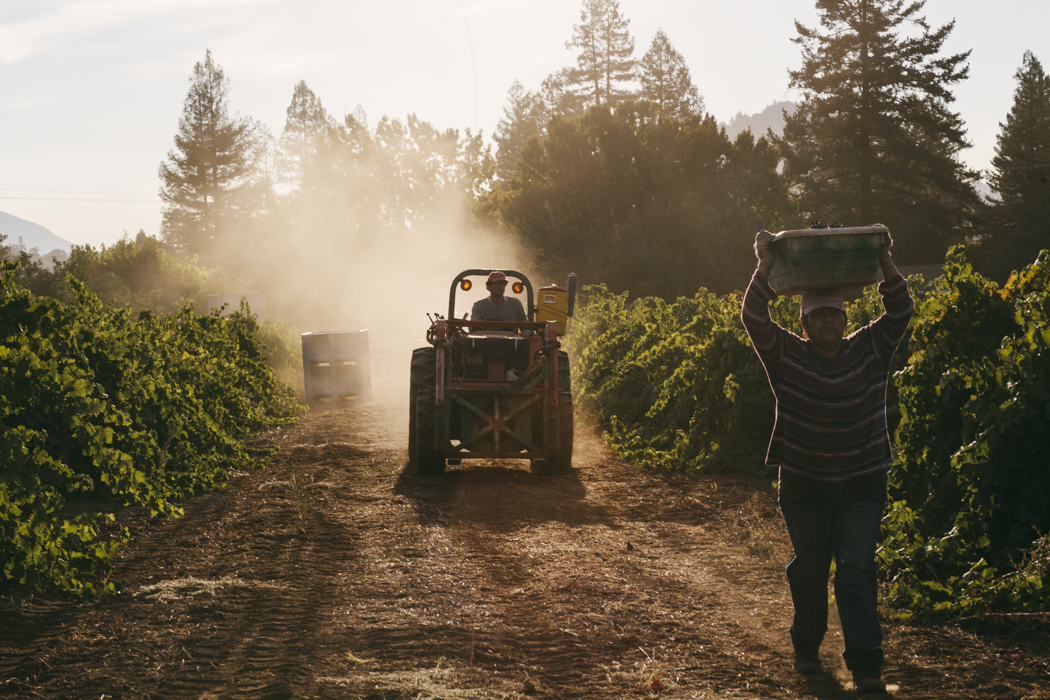 Sonoma county wine harvest. Brad Torchia is a Los Angeles editorial and commercial photographer.