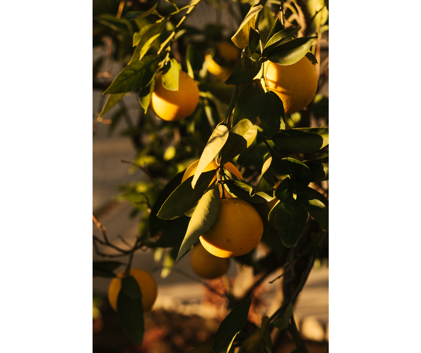Lemon tree in the Los Feliz neighborhood of Los Angeles.  Brad Torchia is an LA-based editorial and commercial photographer.