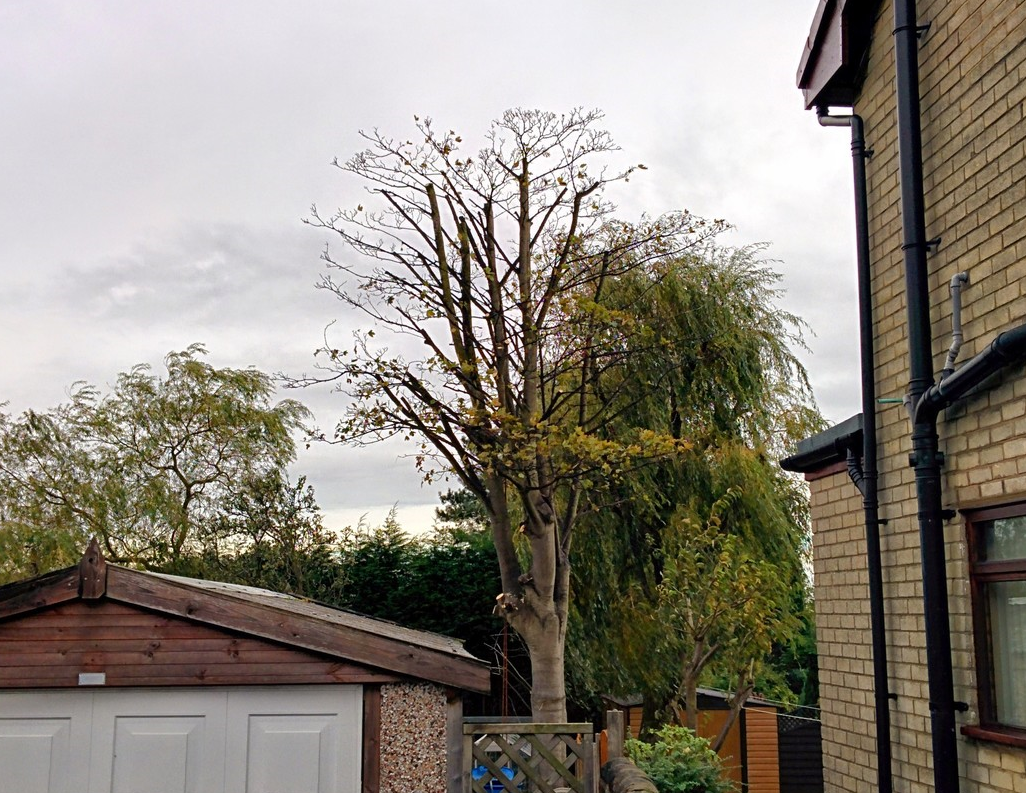 Sycamore Reduction, Ormskirk.