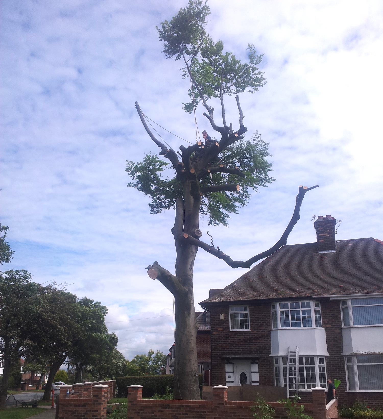 Beech tree removal, Liverpool.