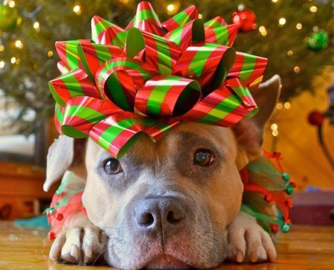 christmas-pitbull-668x540.jpg