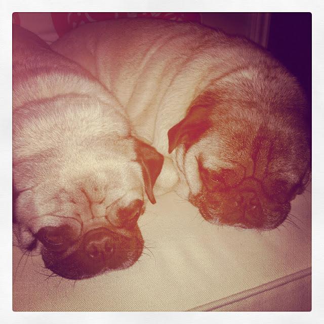 One of my best girlfriend's Ashley's little Pugs:: Diesel and Winston