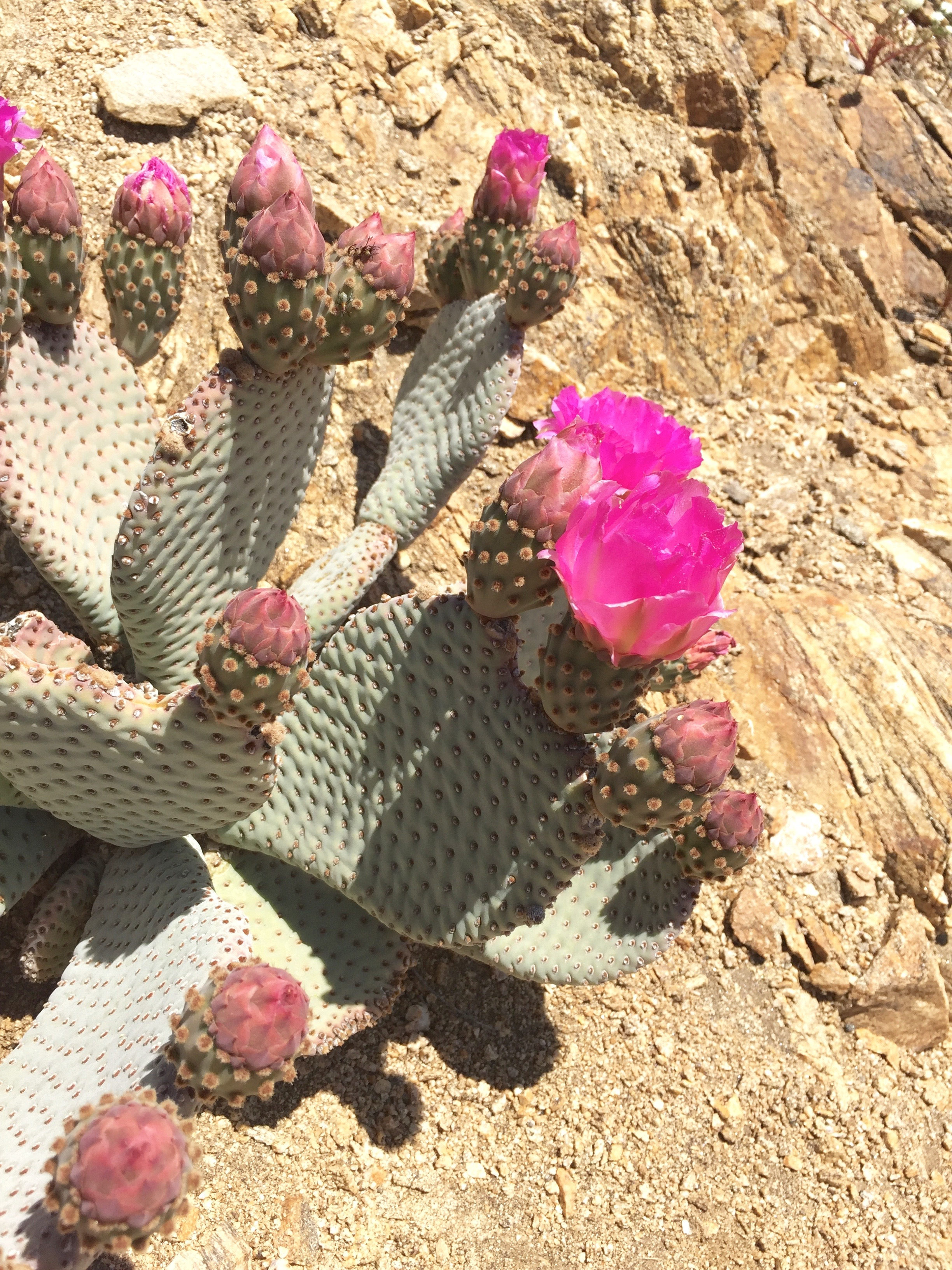 My favorite cactus - the Beavertail - the colors are amaze.
