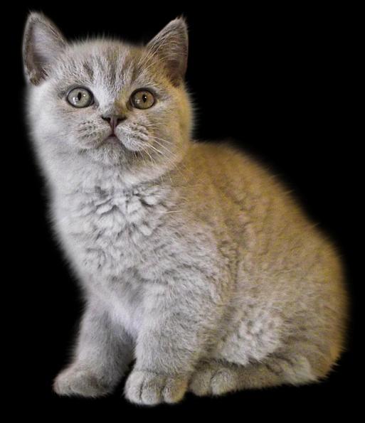 cat_PNG127.png