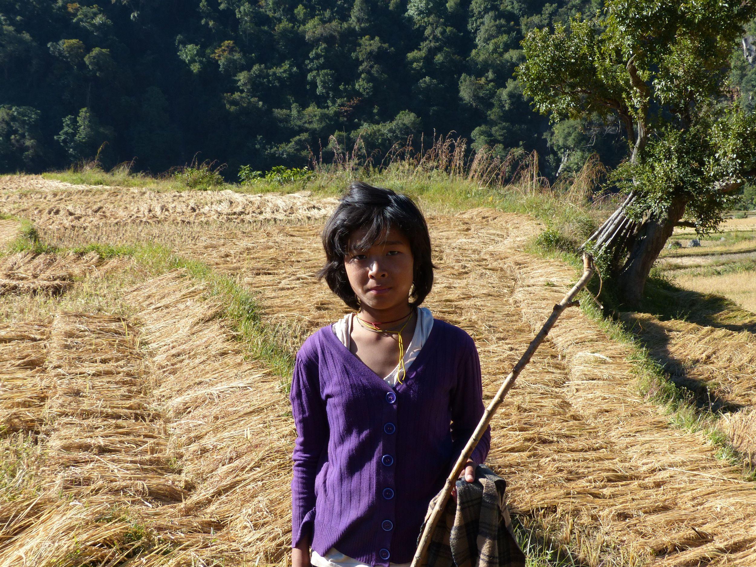 Girl harvesting rice.jpg