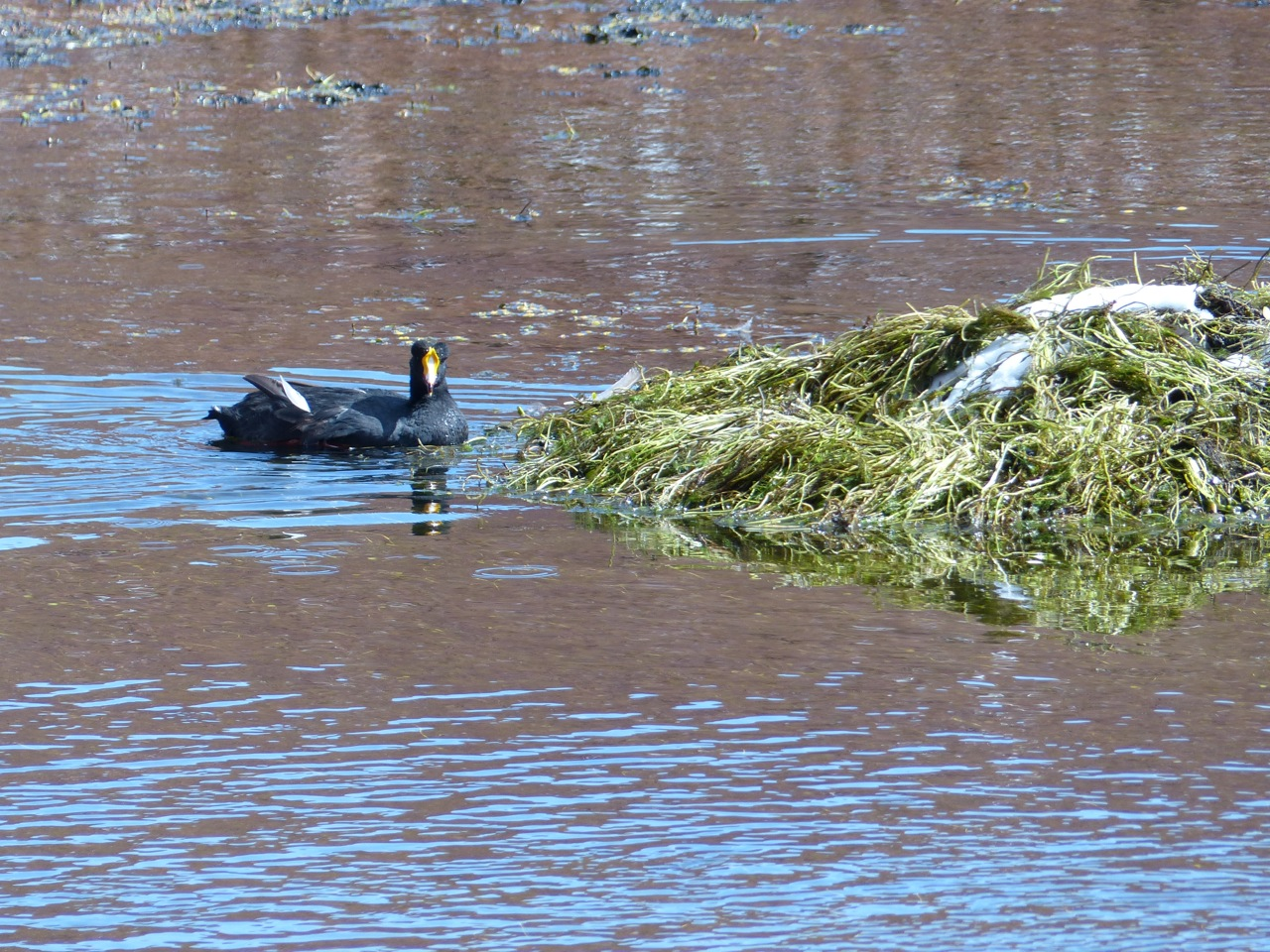 Coot building its nest