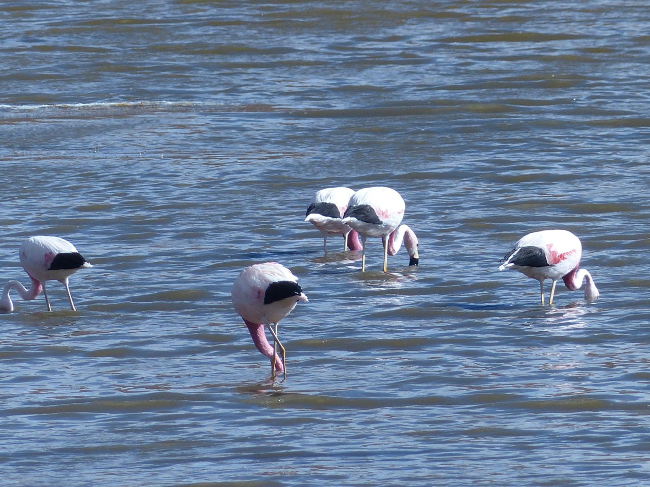 Andes Flamingo (black tail) (click for more)