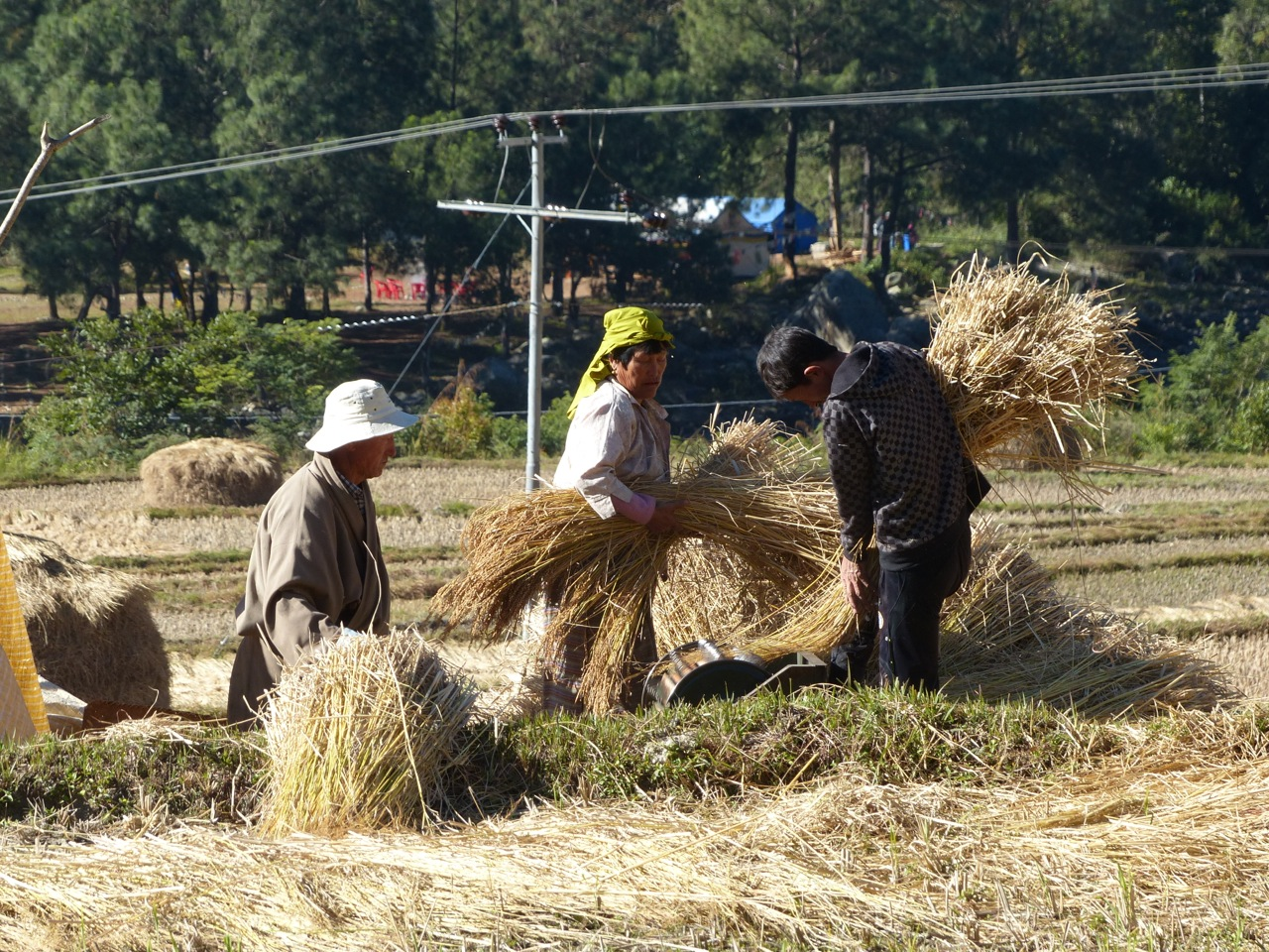 Harvesting rice.jpg