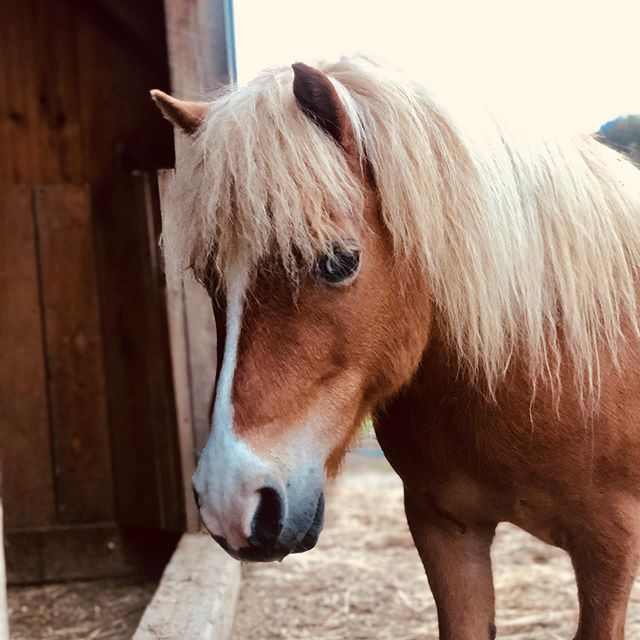 Pony glam shot all yours @boneyardfarm !!! #minihorse #littleshit #escapeartist